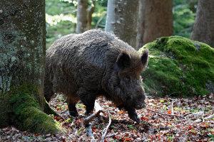 Bayerischer Wald Germaniacinghiale
